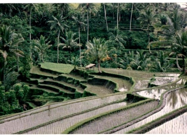 Terraced Rice Fields Bali, Indonesia