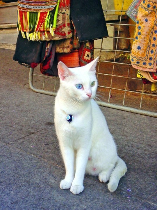 Blue eye & green eye cat in Istanbul, Turkey