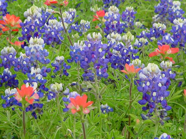 Bluebonnets & Indian Paintbrush - Austin, TX
