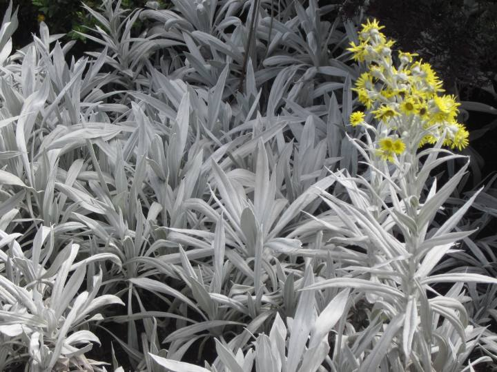 Yellow flower with silver foliage - Bogota - Colombia