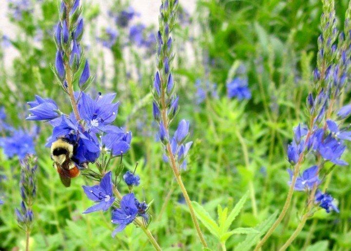 Blue Flower - Mumsy's Garden in Calgary Canada