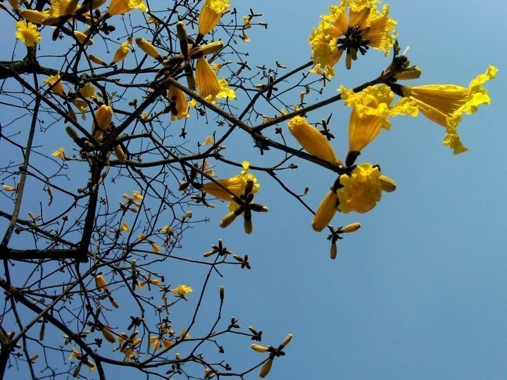 Tabebuia tree with yellow flowers - Sao Paulo, Brazil
