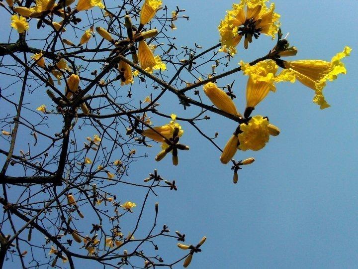 Tabebuia tree with yellow flowers - Sao Paulo, Brazil