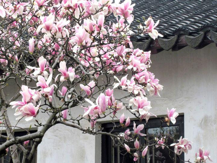 Magnolia blooms - Suzhou, China - Liu Yuan Garden
