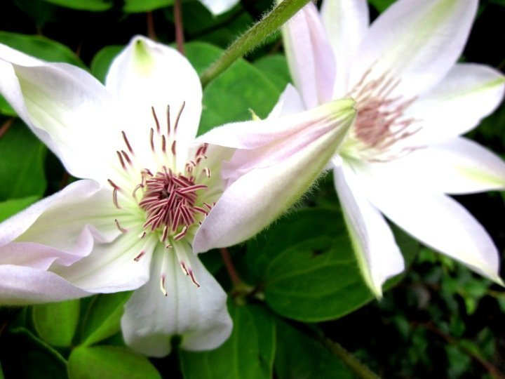 White Flowers - Montreal Botanical Gardens