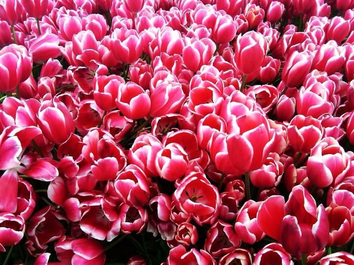 Tulips - Istanbul - Turkey