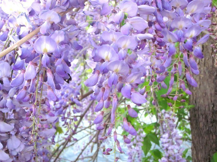 Wisteria bloom in spring - Lady Bird Lake - Austin TX