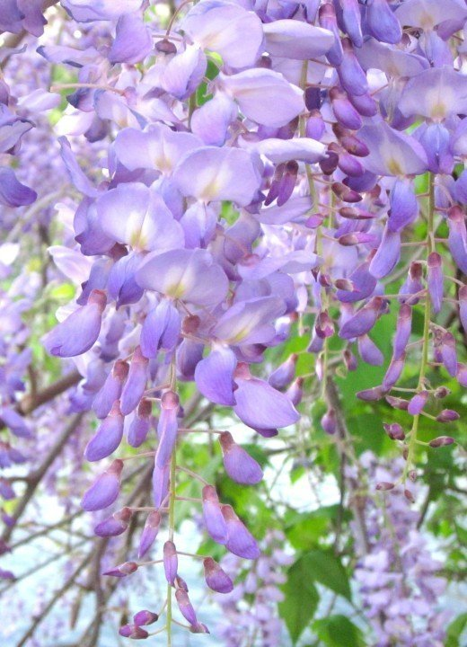 Wisteria bloom in the spring along Lady Bird Lake in downtown Austin Texas