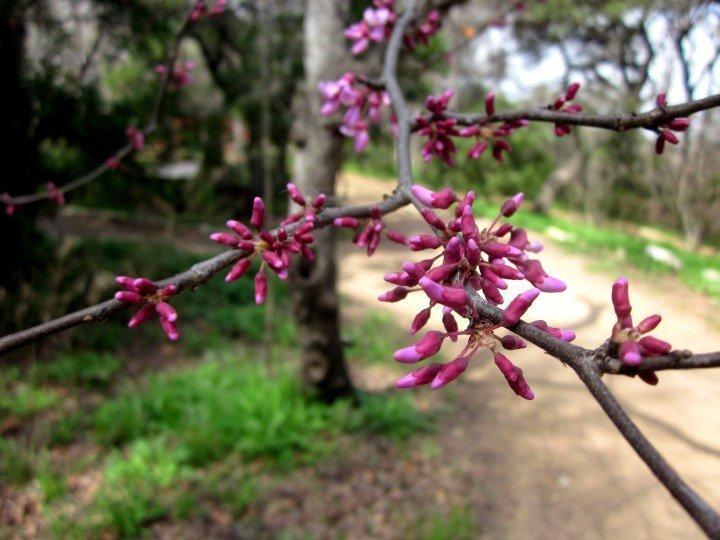 Austin, TX - Zilker Botanical Gardens - red bud blooming