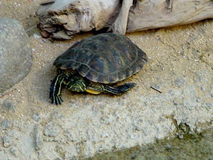Turtle - Huatulco Oaxaca Mexico