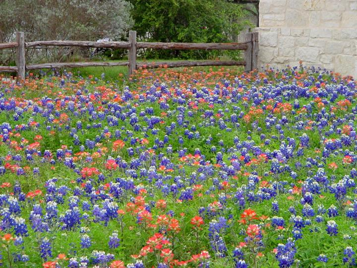In spring the Bluebonnets and Indian Paint Brush bloom at Lady Bird Johnson Wildflower Center in Austin TX