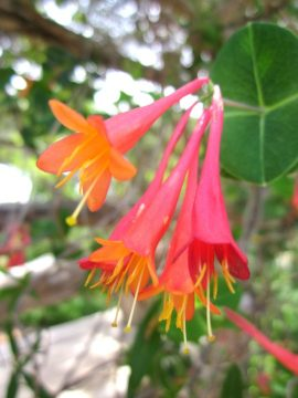 Coral Honeysuckle blooming at Lady Bird Johnson Wildflower Center in Austin TX