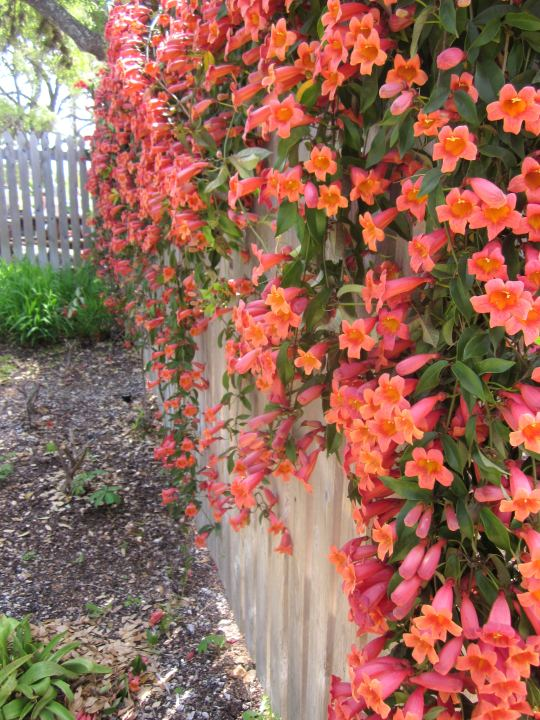 Tangerine Crossvine blooming along a fence at Lady Bird Johnson Wildflower Center in Austin TX