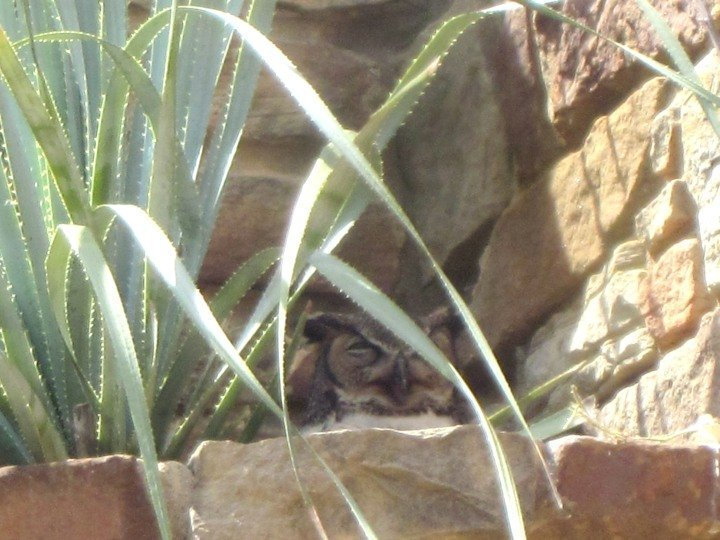 Mama owl at her nest at Lady Bird Johnson Wildflower Center in Austin TX