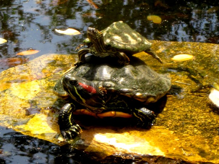 Stacked turtles sunning on a rock in the lily pond at Lady Bird Johnson Wildflower Center in Austin TX