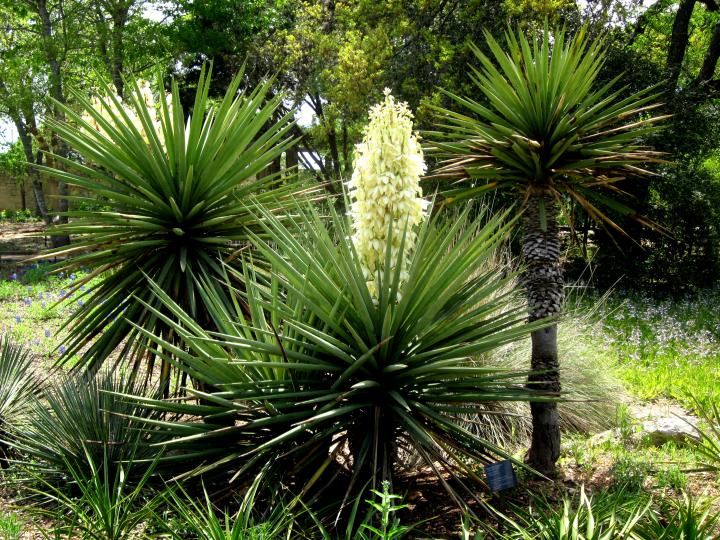 Yucca plant in bloom at Lady Bird Johnson Wildflower Center in Austin TX