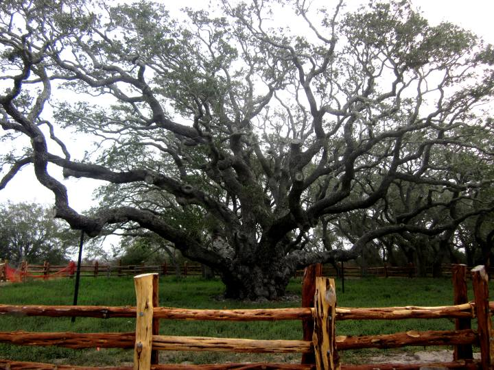 Oldest Live Oak tree in Texas - known as The Big Tree - at Goose Island State Park
