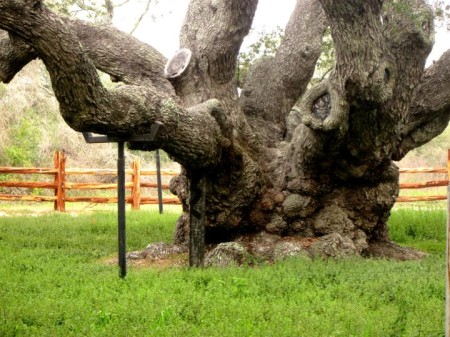 Oldest Oak Tree in Texas – The Big Tree – Goose Island State Park