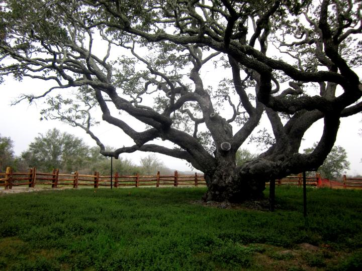 Oldest Oak Tree in Texas - known as The Big Tree - at Goose Island State Park