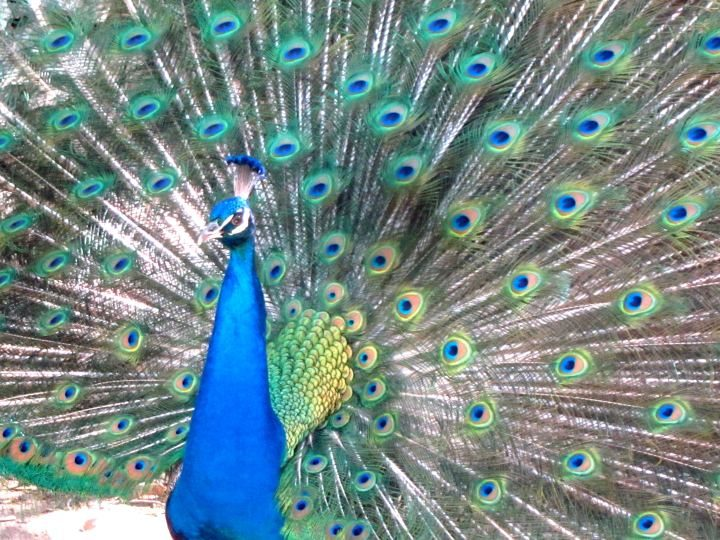 Peacocks fan their tails in springtime - Mayfield Park Austin TX