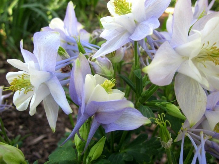Columbine flower blooming in springtime - Mayfield Park in Austin Texas