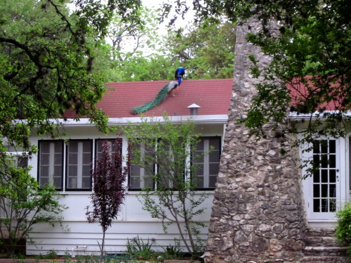 Mayfield cottage and park - peacocks - hiking trails in Austin TX