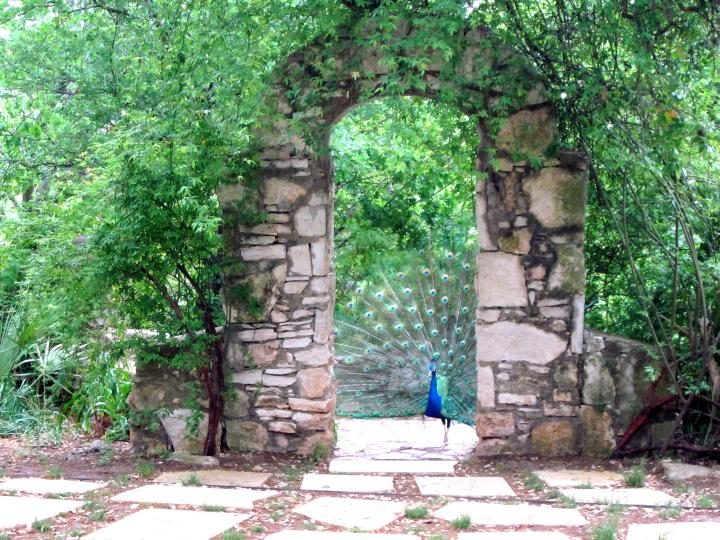 Peacock under the arch on the grounds of Mayfield Park in Austin TX