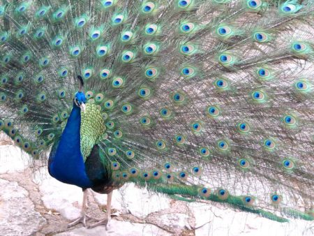 Mayfield Park – Peacocks and Hiking Trails in Central Austin Texas