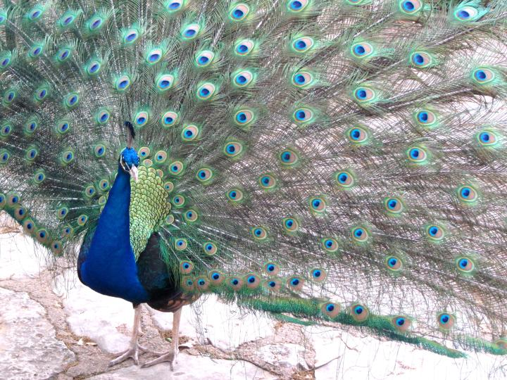 Peacock with brilliant plumage greets visitors to Mayfield Park in Central Austin
