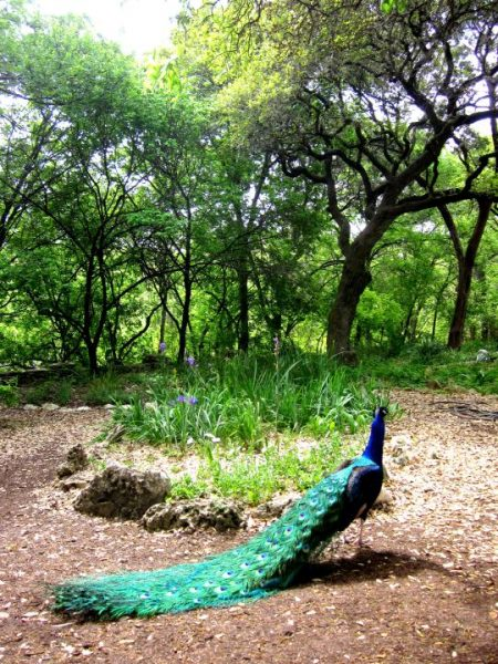 Pretty Peacocks of Mayfield Park and Nature Preserve in Austin Texas