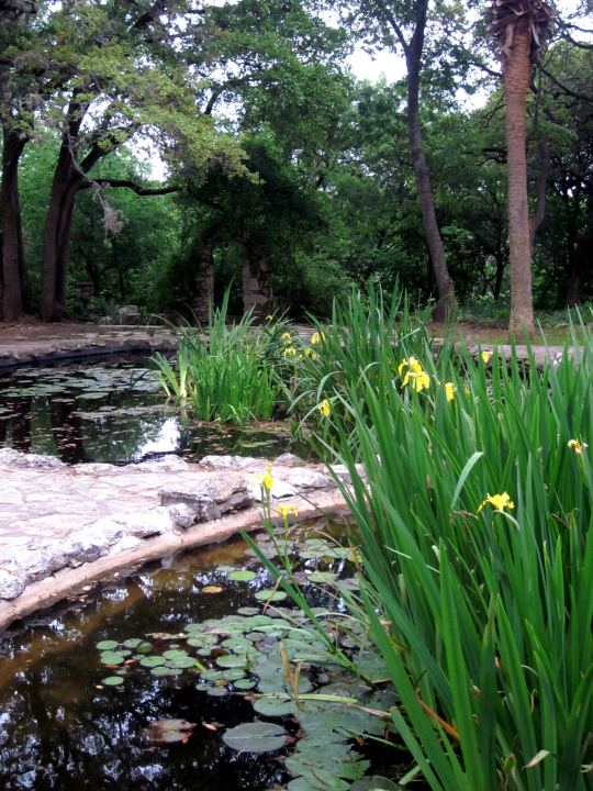 Lily ponds - also home to koi, turtles, frogs, and lizards at Mayfield Park Austin TX