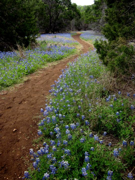 Bluebonnets along hiking trail at St Edwards Park in NW Austin
