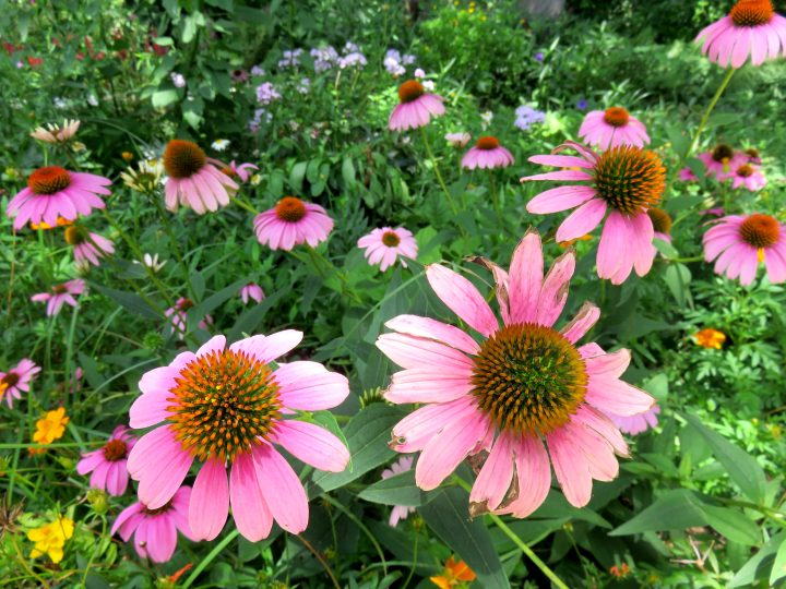Echinacea flowers blooming in summer - Zilker Botanical Garden near downtown Austin TX - a favorite part of Zilker Park