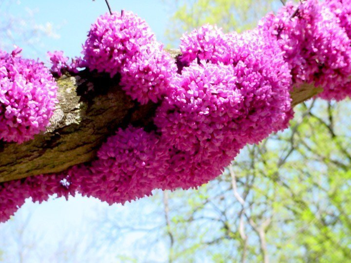 Redbud blooms in spring at Zilker Botanical Garden - late February to mid-March