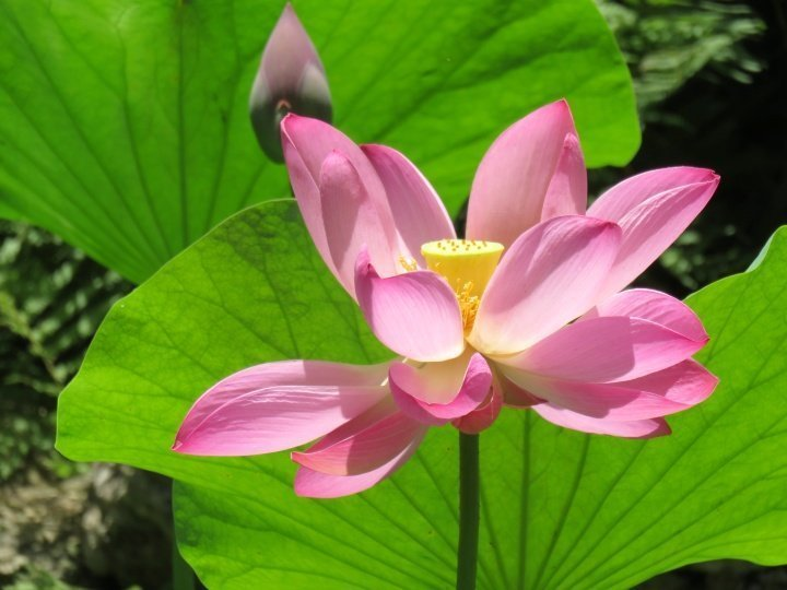 Pure Zen - lotus flower at the Japanese Garden created by Isamu Taniguchi - Zilker Botanical Garden in central Austin TX