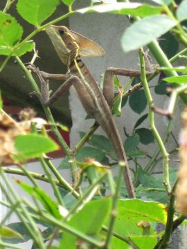 Basilisk lizard commonly known as the Jesus lizard due to ability to run across water