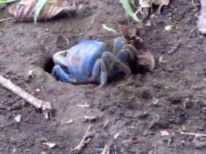 Blue crabs are common in the Caribbean coastal village Manzanillo Costa Rica