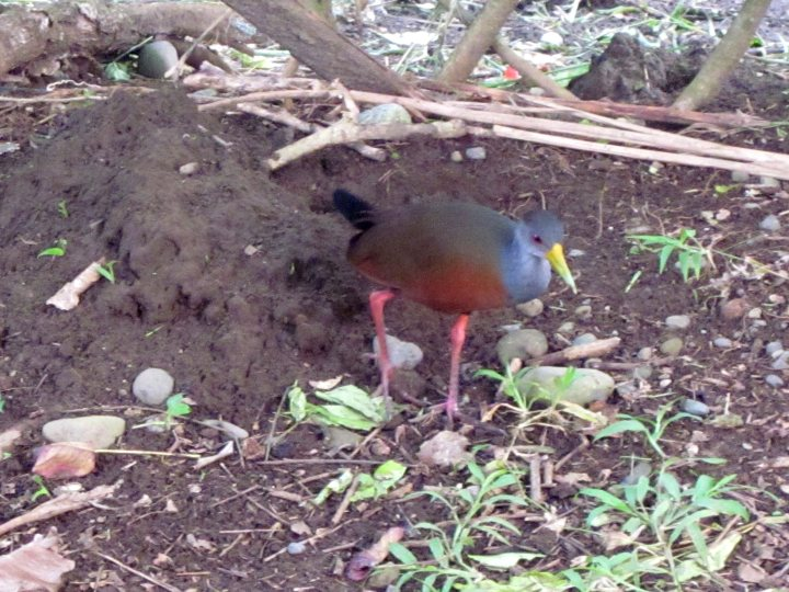 Grey-necked wood rail visited me daily in Manzanillo - Costa Rica Caribbean coastal town