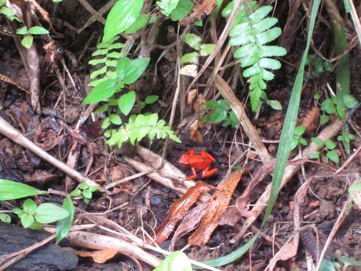 Orange frogs - tropical rainforest of Costa Rica has many amphibians