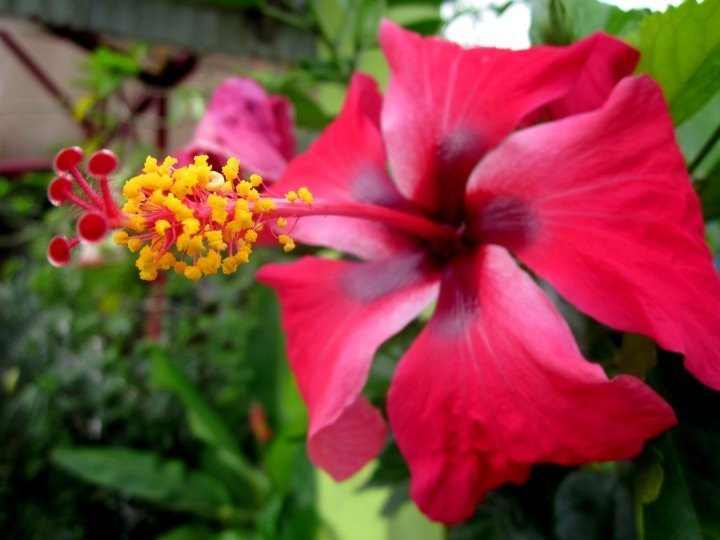 Red hibiscus flower - a magnet for hummingbirds in Costa Rica
