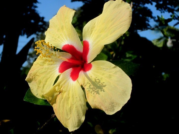 Yellow hibiscus flowers - Caribbean coast tropical rainforest climate
