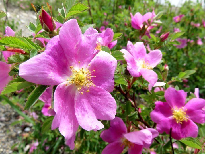 Beautiful pink wild roses - official flower of Alberta Canada