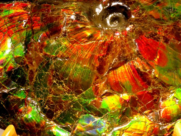 Ammolite close-up of the extinct ammolite mollusk - Glenbow Museum in downtown Calgary Alberta