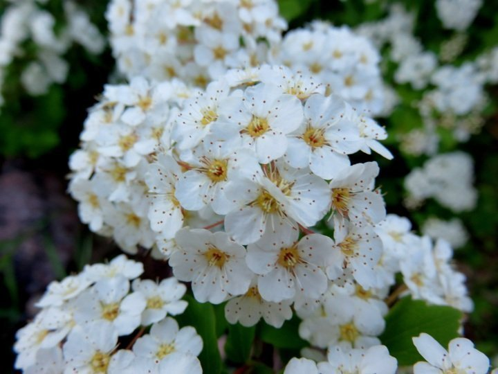 Spirea flowers - white and yellow blossoms - Calgary Alberta