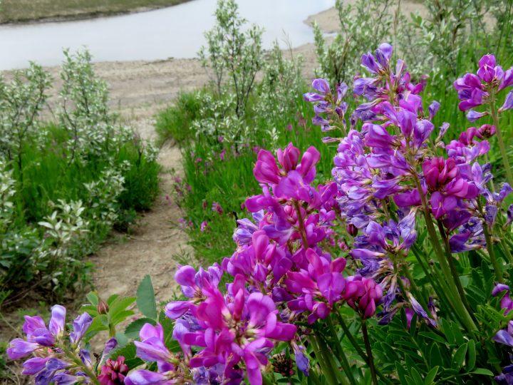 Wild lupine flowers - North Glenmore Park - Calgary Alberta Canada