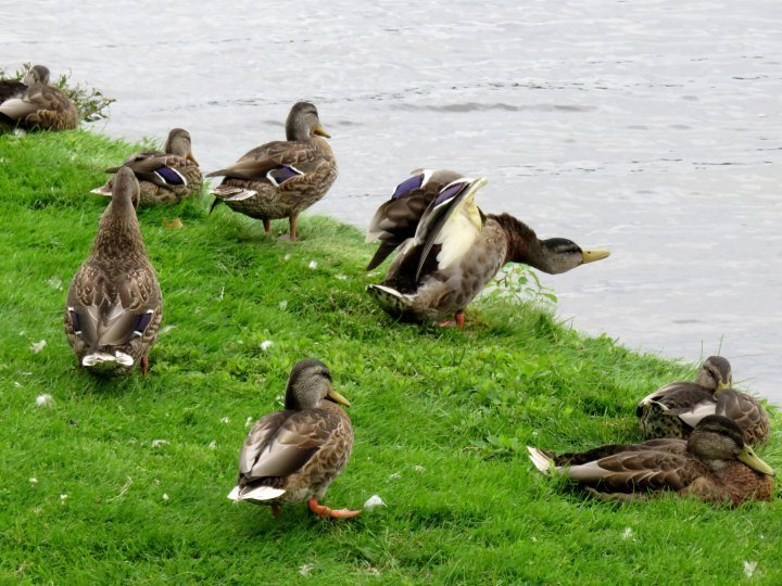 Ducks at Dows Lake in Ottawa Ontario - stretching and relaxing by the water