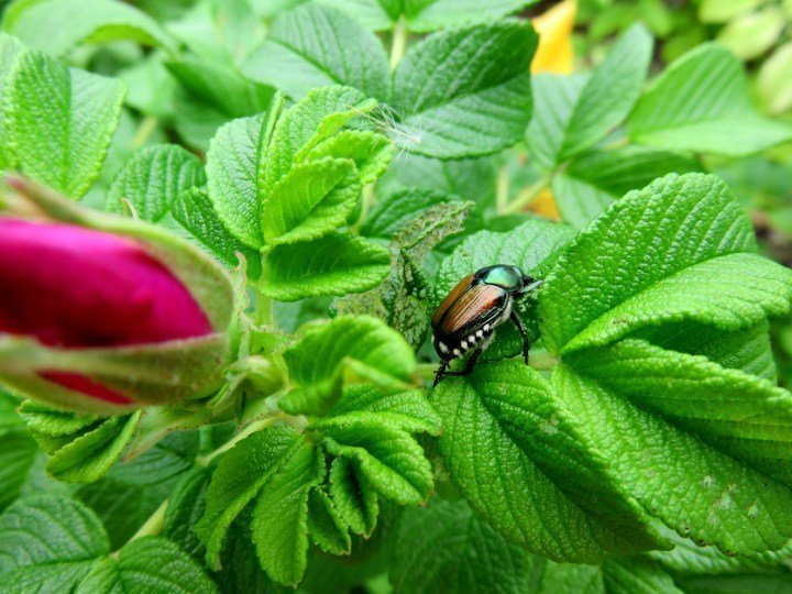 Walking along the Rideau Canal there are rose bushes and interesting insects - Ottawa Ontario Canada