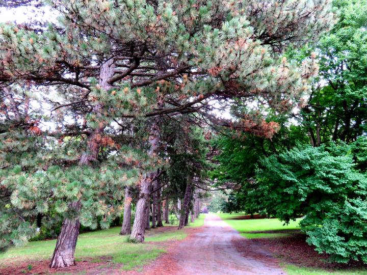 Walking to Dows Lake in Ottawa Ontario - beautiful fir trees in the nearby park