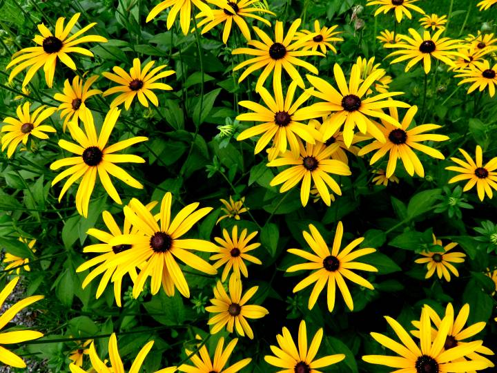 Flower gardens in Ottawa are colorful - yellow daisies