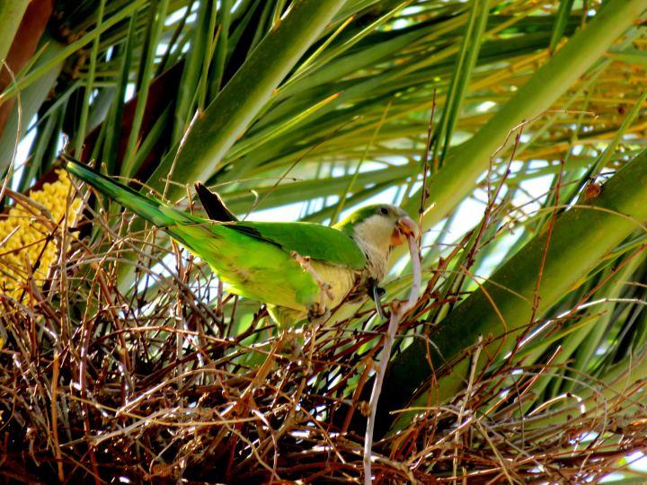 La Ribera district Barcelona - parakeets nest in the trees along the promenade to Arc de Triomf